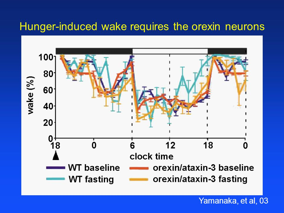 Hunger-induced wake requires the orexin neurons Yamanaka, et al, 03