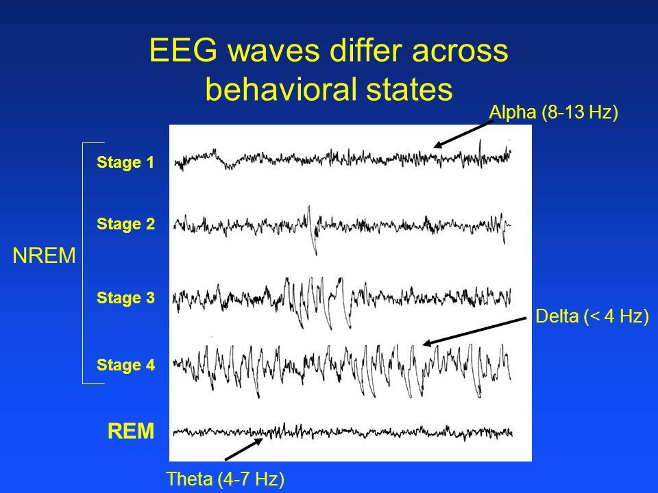 EEG waves differ across behavioral states Alpha (8-13 Hz) Theta (4-7 Hz) Delta (< 4 Hz) Stage 1 Stage 2 Stage 3 Stage 4 REM NREM