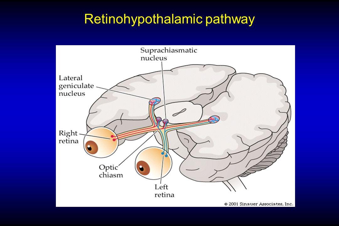 Retinohypothalamic pathway