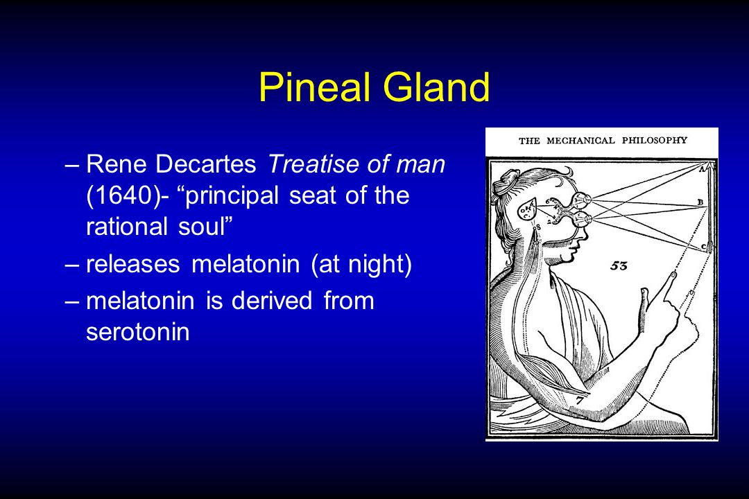 Pineal Gland –Rene Decartes Treatise of man (1640)- principal seat of the rational soul –releases melatonin (at night) –melatonin is derived from serotonin