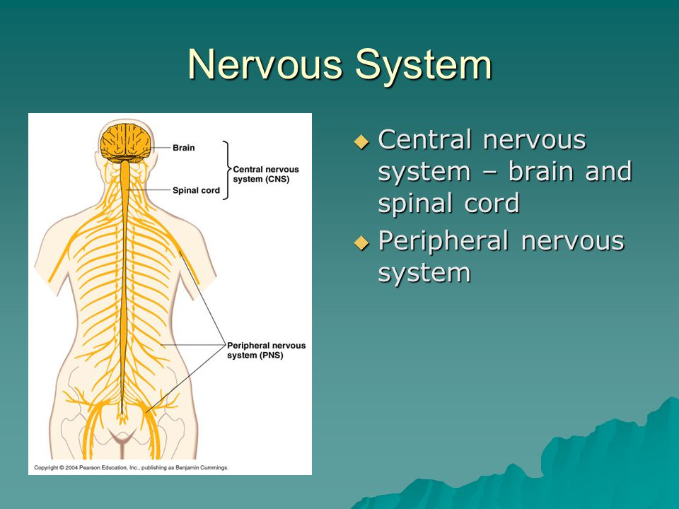 Nervous System  Central nervous system – brain and spinal cord  Peripheral nervous system
