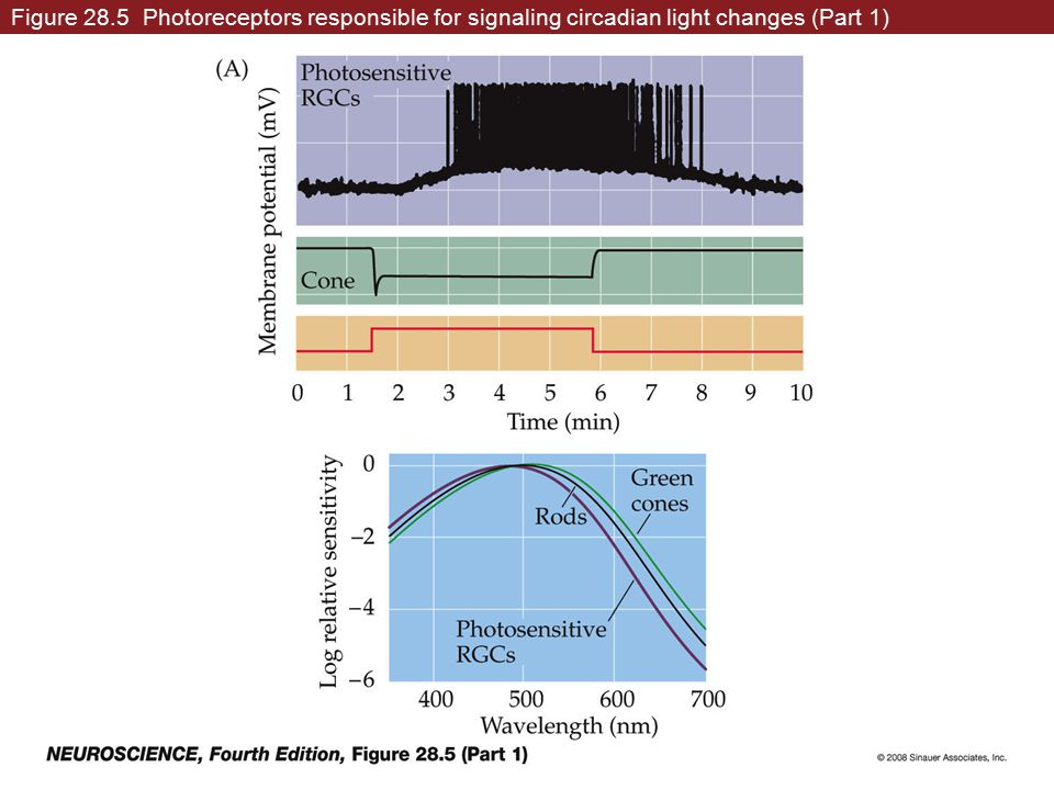 Figure 28.5 Photoreceptors responsible for signaling circadian light changes (Part 1)