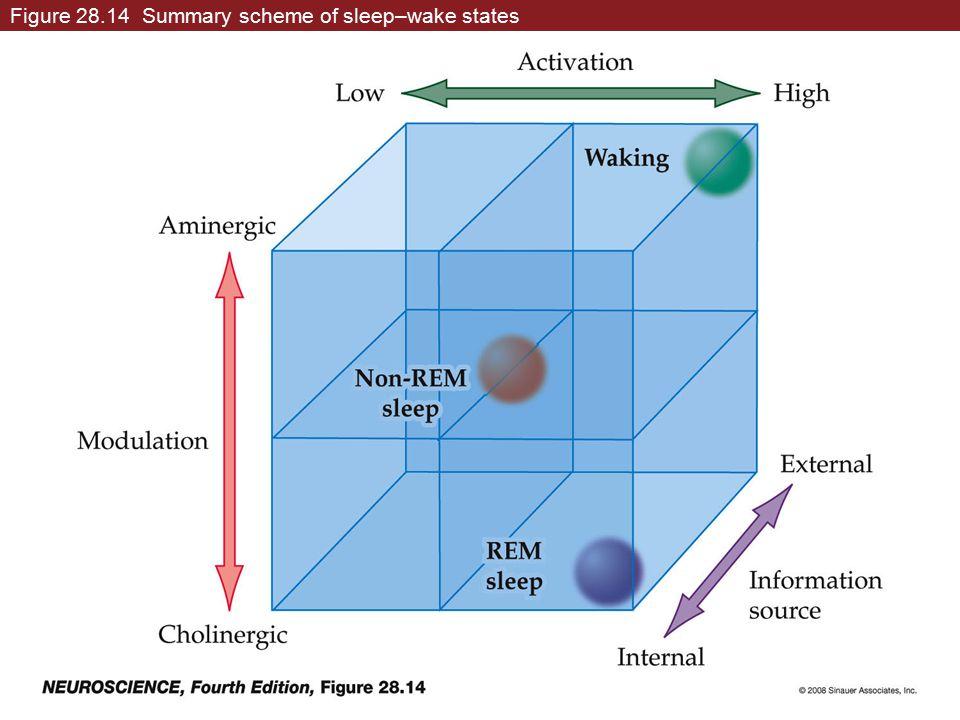 Figure 28.14 Summary scheme of sleep–wake states