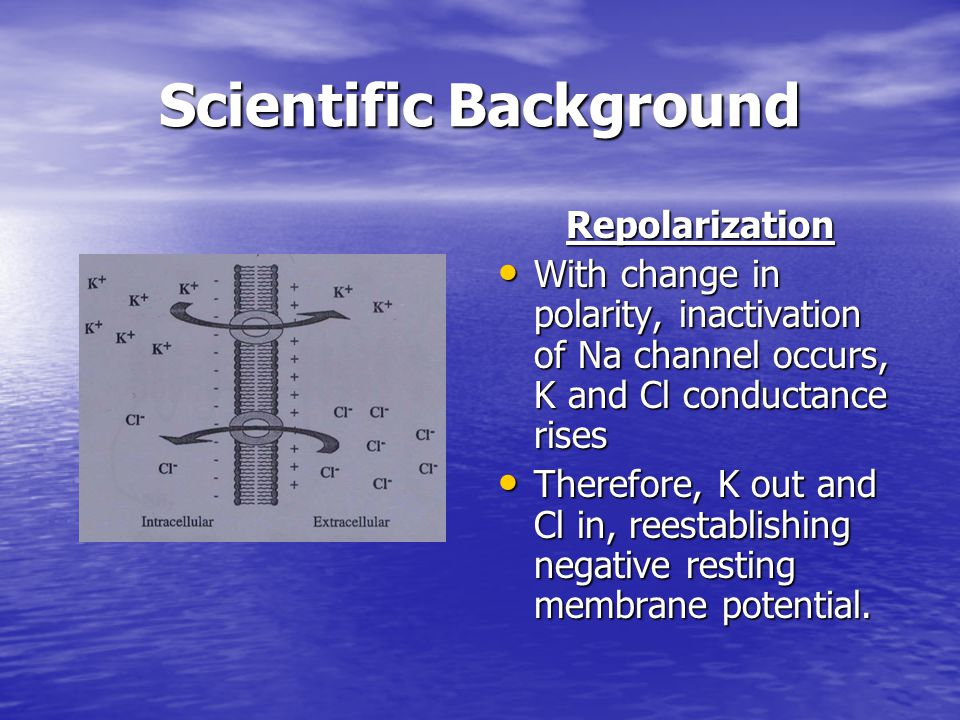 Scientific Background Repolarization With change in polarity, inactivation of Na channel occurs, K and Cl conductance rises With change in polarity, i