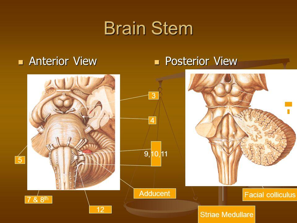 Brain Stem Anterior View Anterior View Posterior View Adducent 7 & 8 th 12 9,10,11 5 3 4 Facial colliculus Striae Medullare