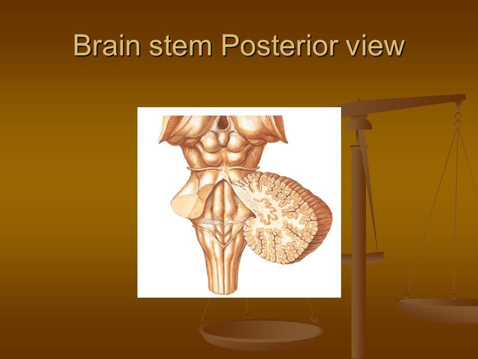 Brain stem Posterior view