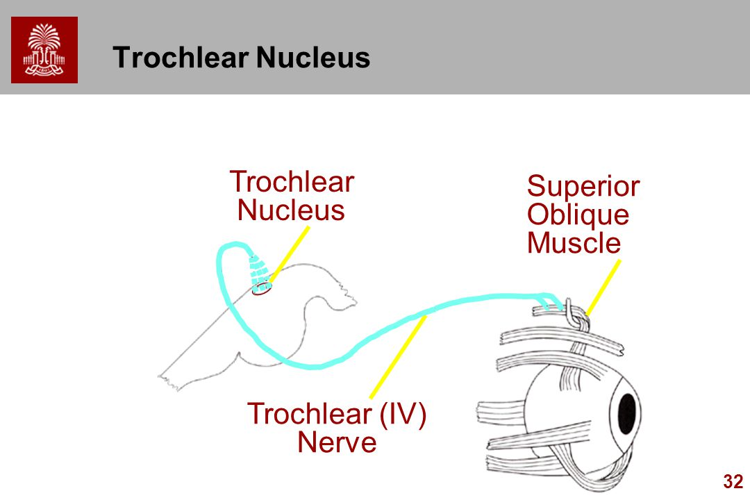 32 Trochlear Nucleus Superior Oblique Muscle Trochlear (IV) Nerve Trochlear Nucleus