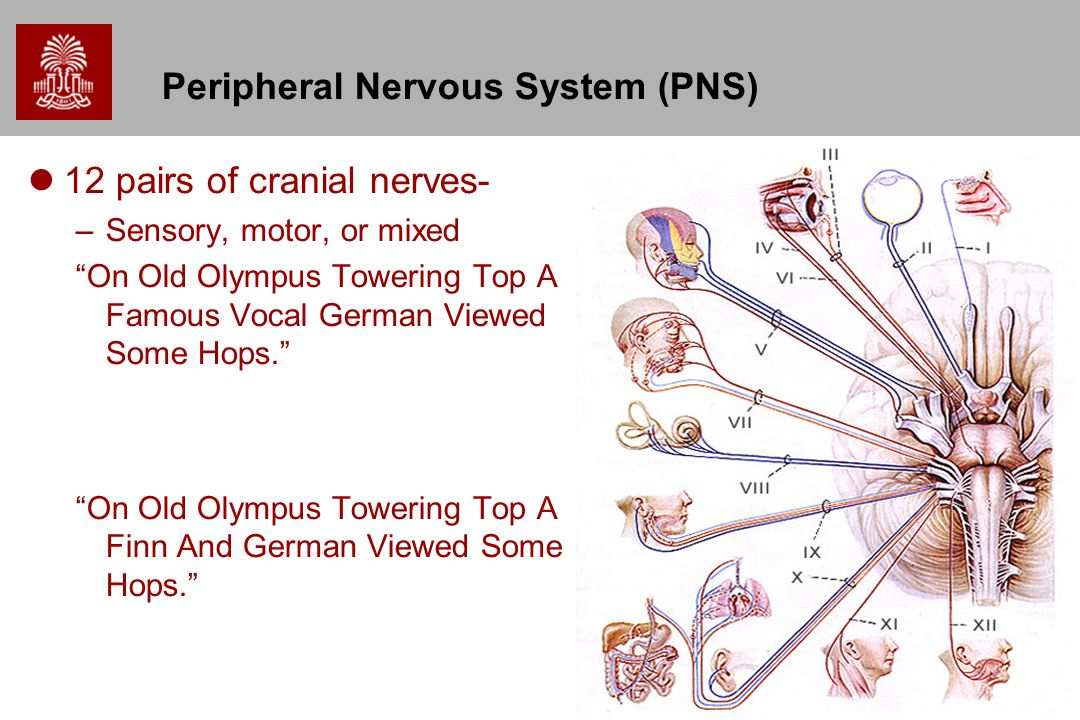 """Peripheral Nervous System (PNS) 12 pairs of cranial nerves- –Sensory, motor, or mixed """"On Old Olympus Towering Top A Famous Vocal German Viewed Some H"""