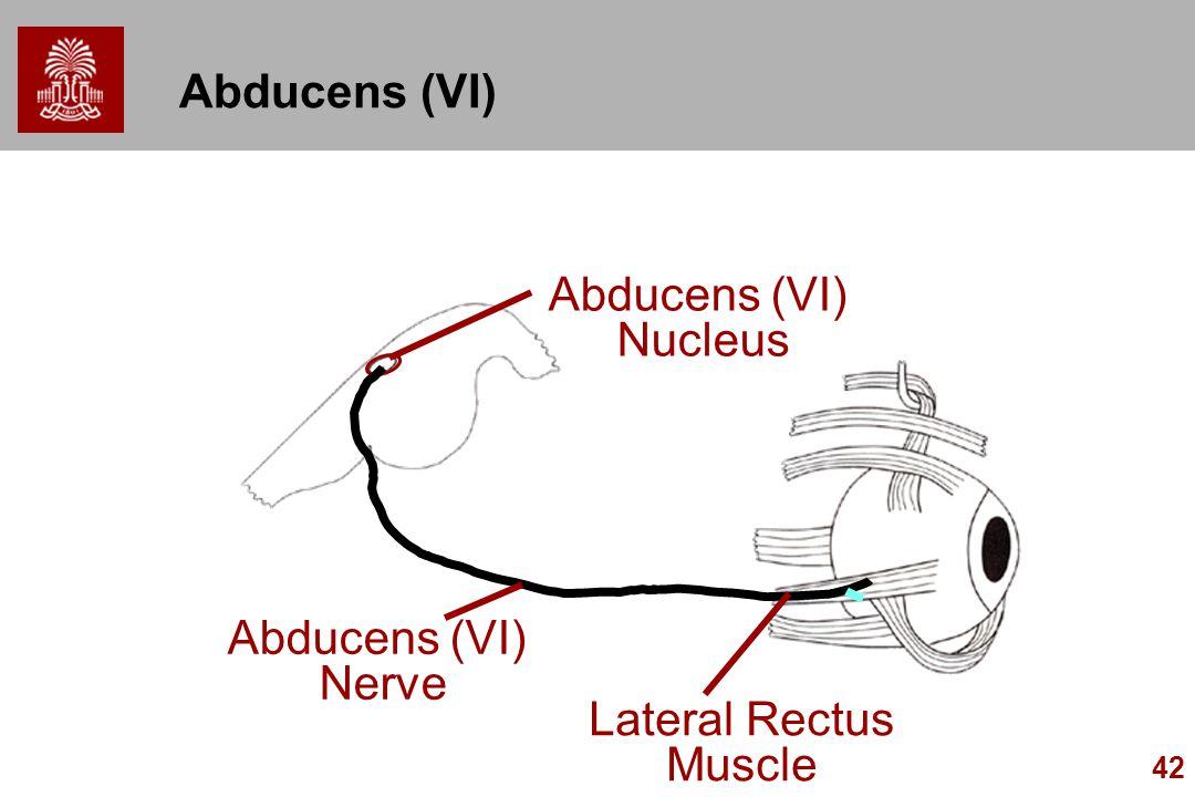 42 Abducens (VI) Nerve Lateral Rectus Muscle Abducens (VI) Nucleus