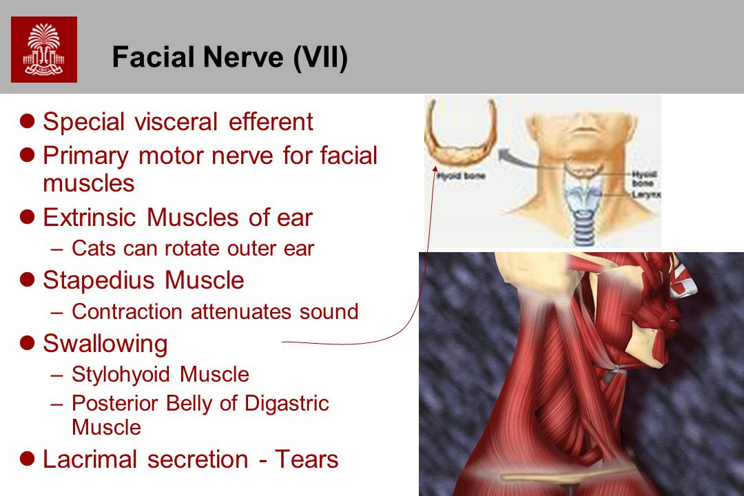 44 Facial Nerve (VII) Special visceral efferent Primary motor nerve for facial muscles Extrinsic Muscles of ear –Cats can rotate outer ear Stapedius M