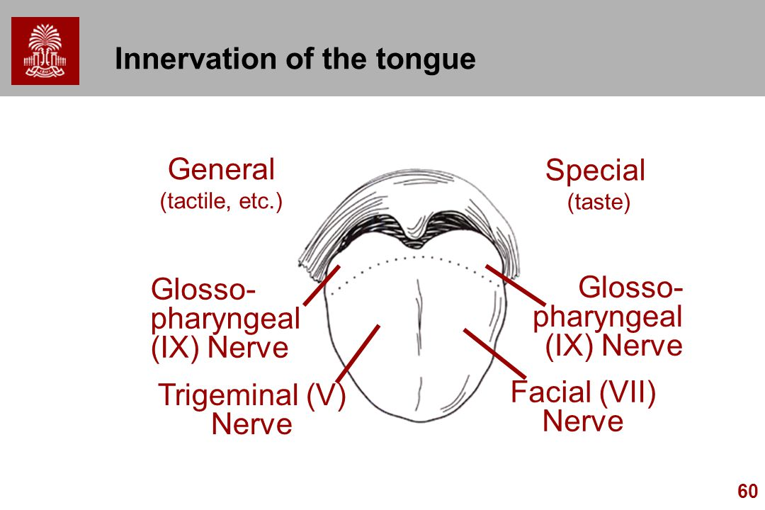 60 Innervation of the tongue Glosso- pharyngeal (IX) Nerve Trigeminal (V) Nerve General (tactile, etc.) Special (taste) Glosso- pharyngeal (IX) Nerve