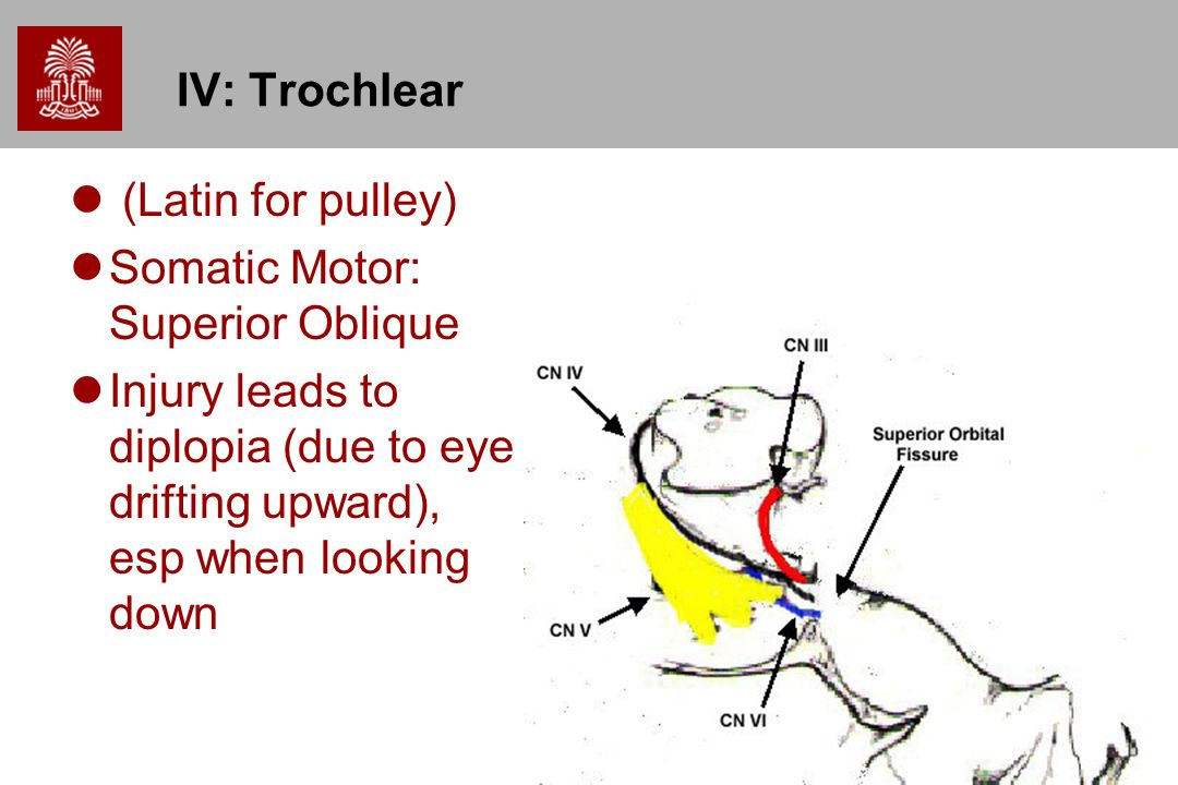 9 IV: Trochlear (Latin for pulley) Somatic Motor: Superior Oblique Injury leads to diplopia (due to eye drifting upward), esp when looking down