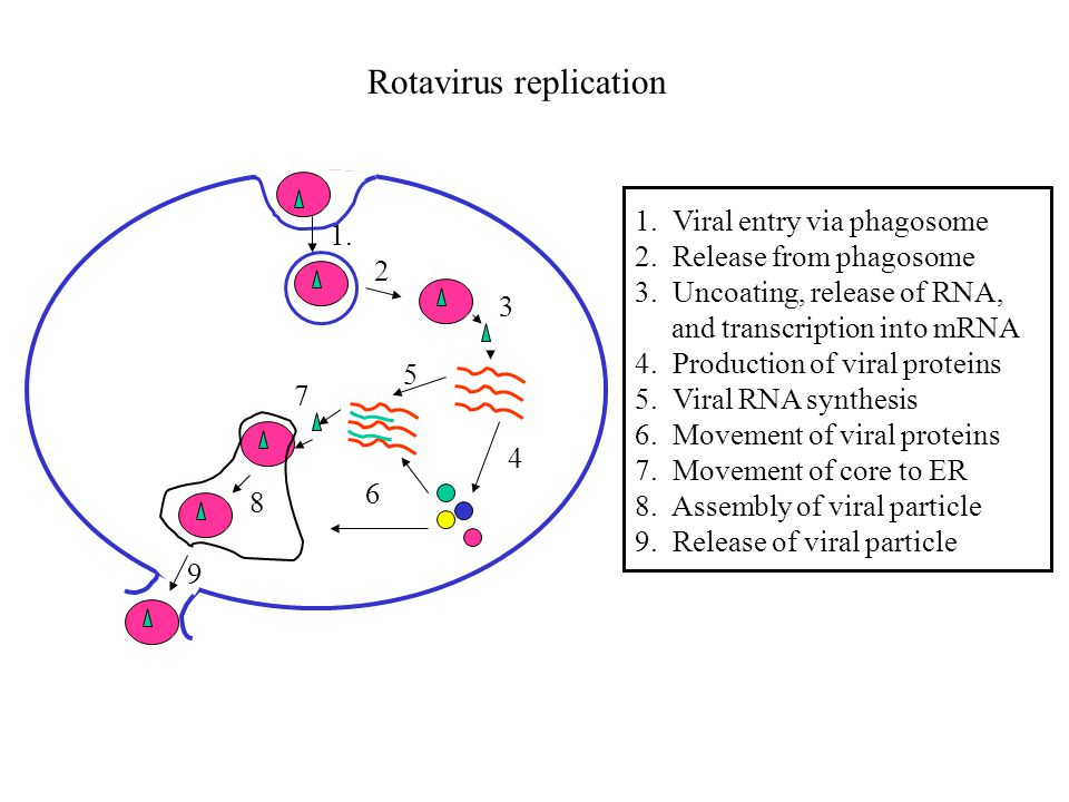 Pathogenesis –Spread by fecal-oral route –Virus enters and replicates in mature villus cells of the small intestine –Infection kills cells and loss of absorptive area ensues Lactose intolerance common following infection Enterotoxin may also contribute to diarrhea –Highly infectious and hardy 1 pfu can cause disease Not killed by many disinfectants