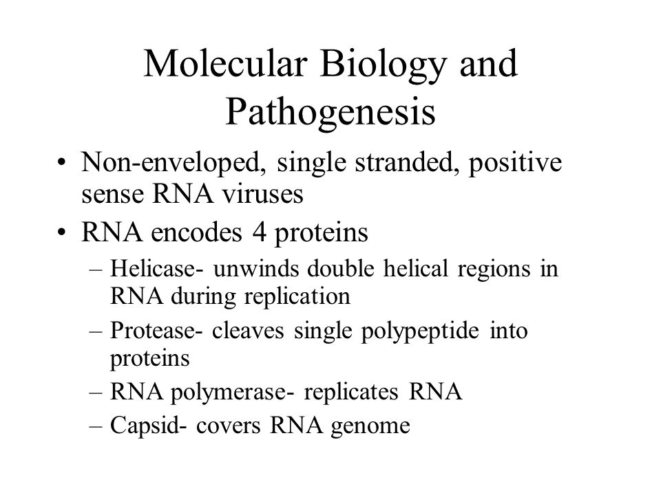 Molecular Biology and Pathogenesis Non-enveloped, single stranded, positive sense RNA viruses RNA encodes 4 proteins –Helicase- unwinds double helical regions in RNA during replication –Protease- cleaves single polypeptide into proteins –RNA polymerase- replicates RNA –Capsid- covers RNA genome