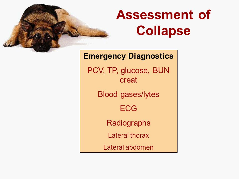 Assessment of Collapse Emergency Diagnostics PCV, TP, glucose, BUN creat Blood gases/lytes ECG Radiographs Lateral thorax Lateral abdomen