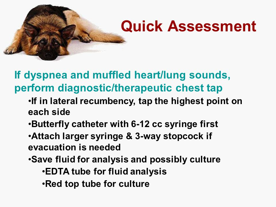 Quick Assessment If dyspnea and muffled heart/lung sounds, perform diagnostic/therapeutic chest tap If in lateral recumbency, tap the highest point on