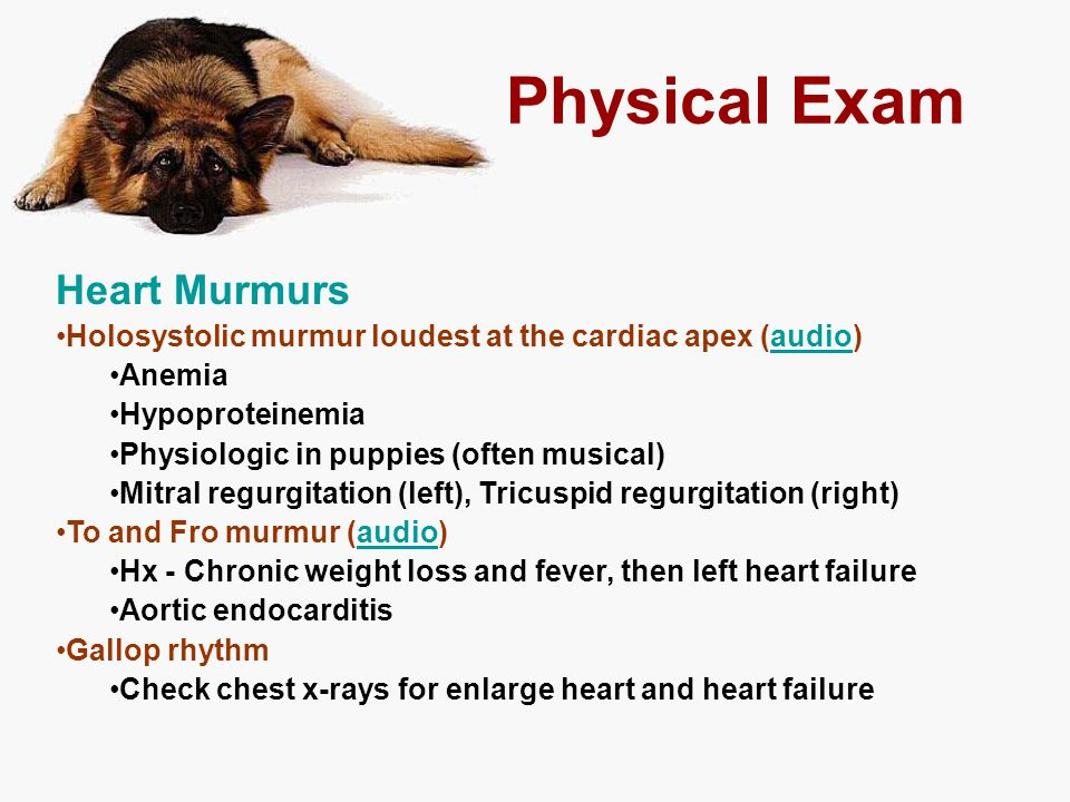 Physical Exam Heart Murmurs Holosystolic murmur loudest at the cardiac apex (audio)audio Anemia Hypoproteinemia Physiologic in puppies (often musical)