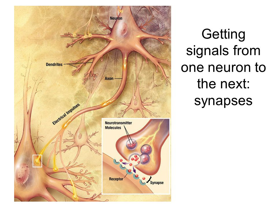 Synaptic Plasticity Central synapses can be plastic : they may change their synaptic strength (i.e.