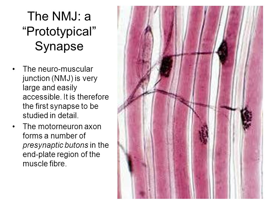The neuro-muscular junction (NMJ) is very large and easily accessible.