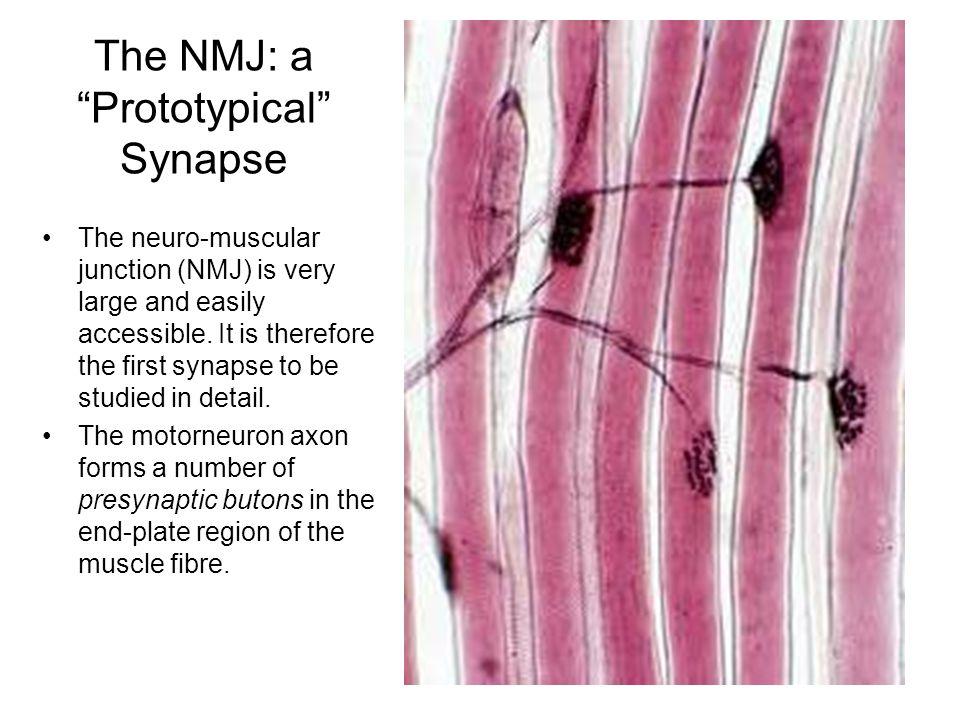 Synapse Morphology