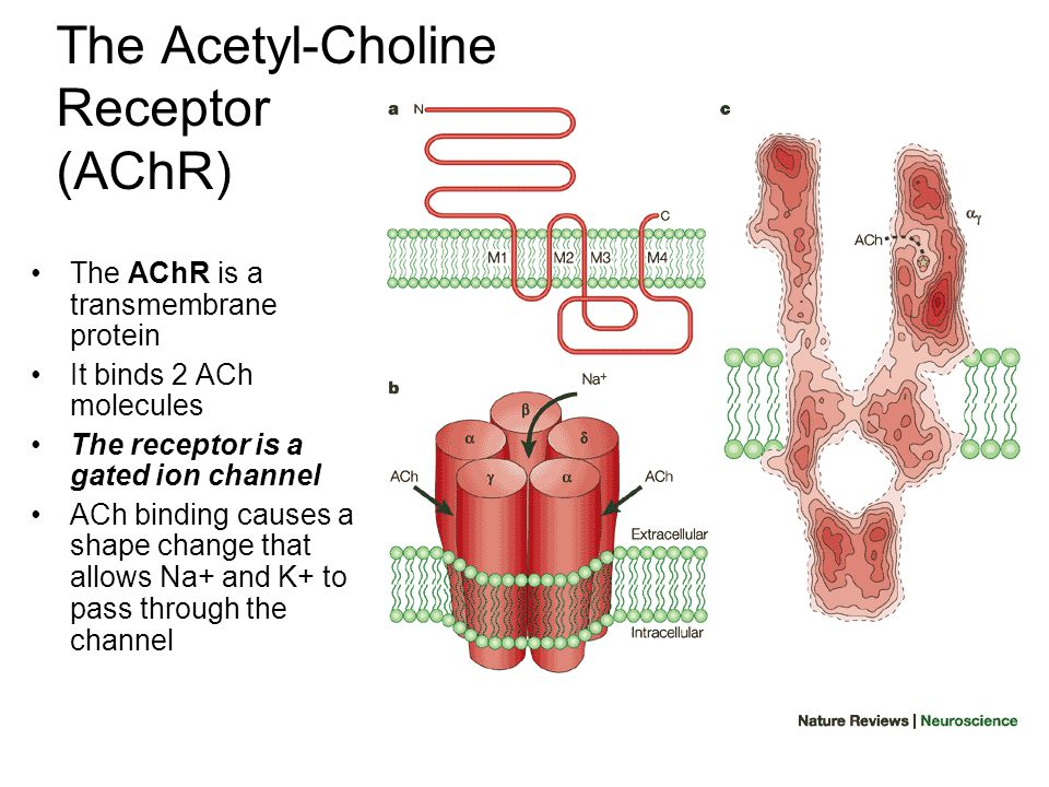 Terminating the Chemical Signal ACh does not remain bound to the AChR indefinitely.