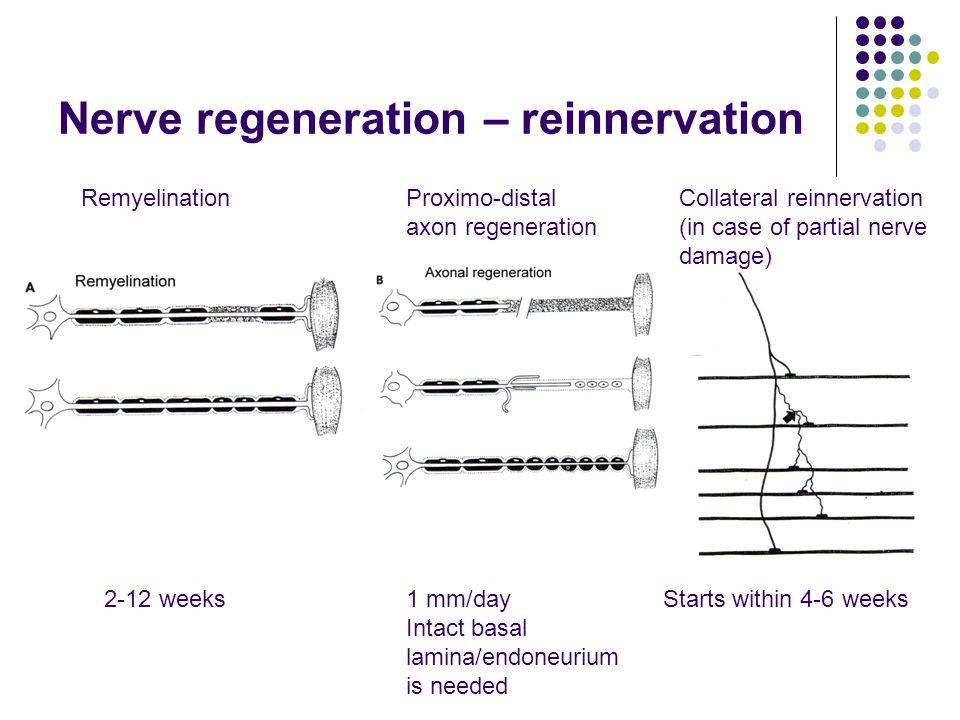 Nerve regeneration – reinnervation RemyelinationProximo-distal axon regeneration Collateral reinnervation (in case of partial nerve damage) 2-12 weeks