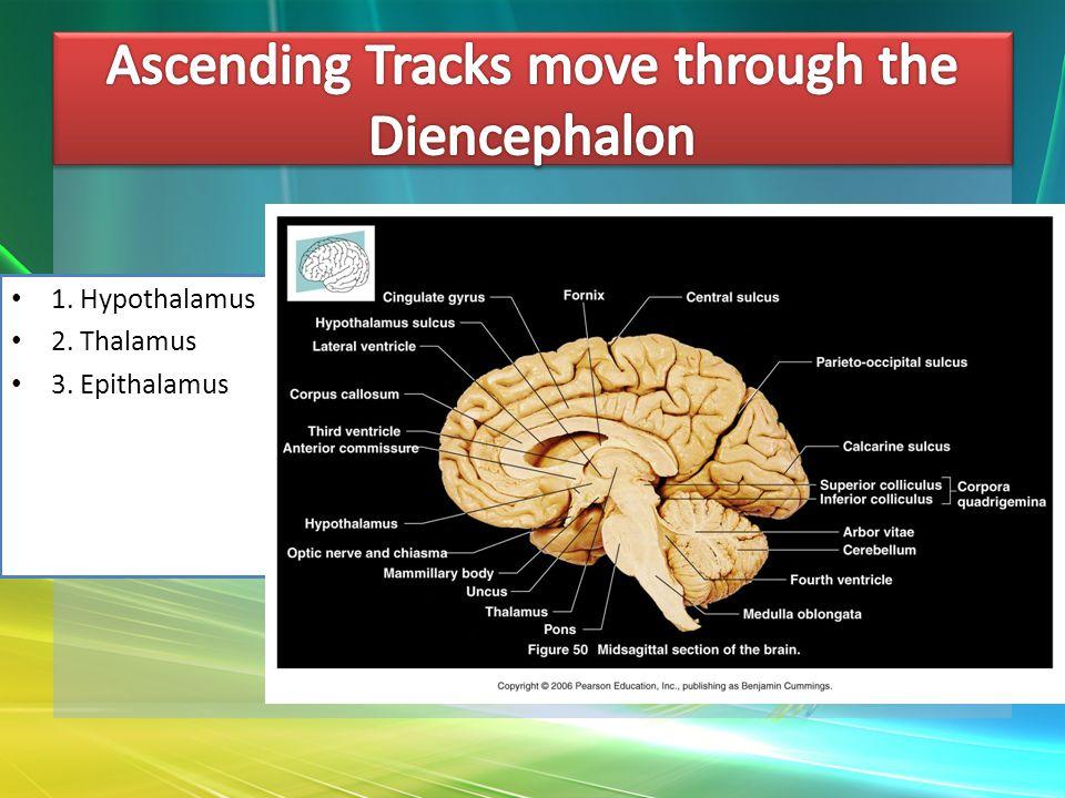 1. Hypothalamus 2. Thalamus 3. Epithalamus