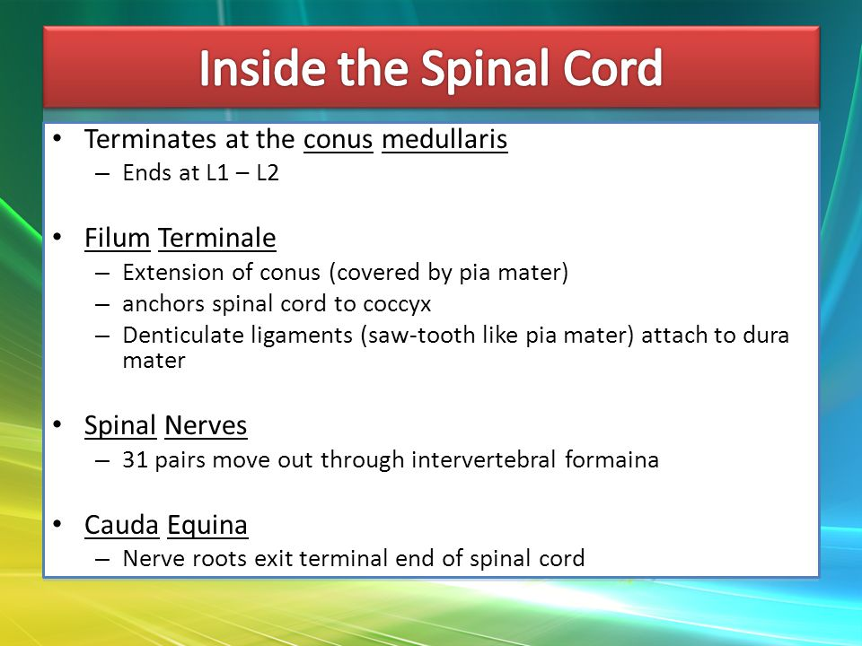 Terminates at the conus medullaris – Ends at L1 – L2 Filum Terminale – Extension of conus (covered by pia mater) – anchors spinal cord to coccyx – Denticulate ligaments (saw-tooth like pia mater) attach to dura mater Spinal Nerves – 31 pairs move out through intervertebral formaina Cauda Equina – Nerve roots exit terminal end of spinal cord