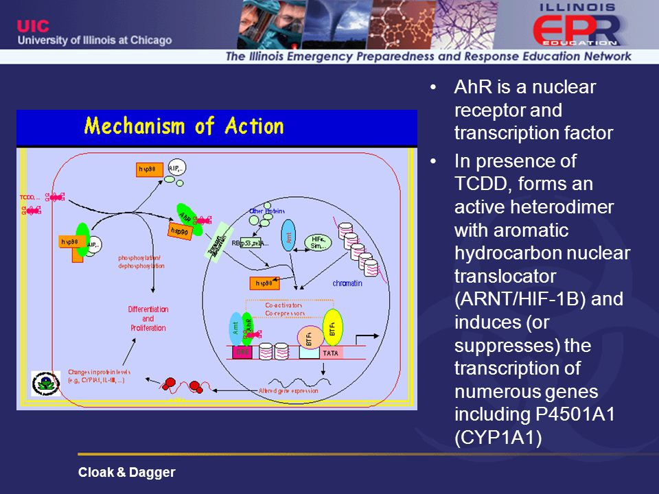 Cloak & Dagger AhR is a nuclear receptor and transcription factor In presence of TCDD, forms an active heterodimer with aromatic hydrocarbon nuclear translocator (ARNT/HIF-1B) and induces (or suppresses) the transcription of numerous genes including P4501A1 (CYP1A1)