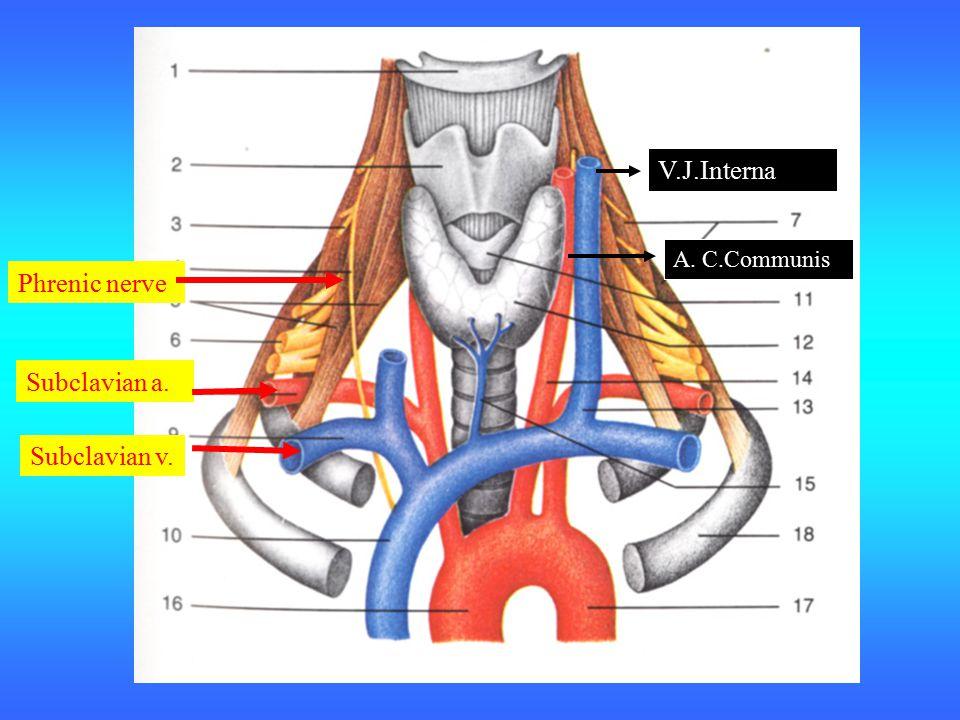 Subclavian v. Subclavian a. Phrenic nerve V.J.Interna A. C.Communis