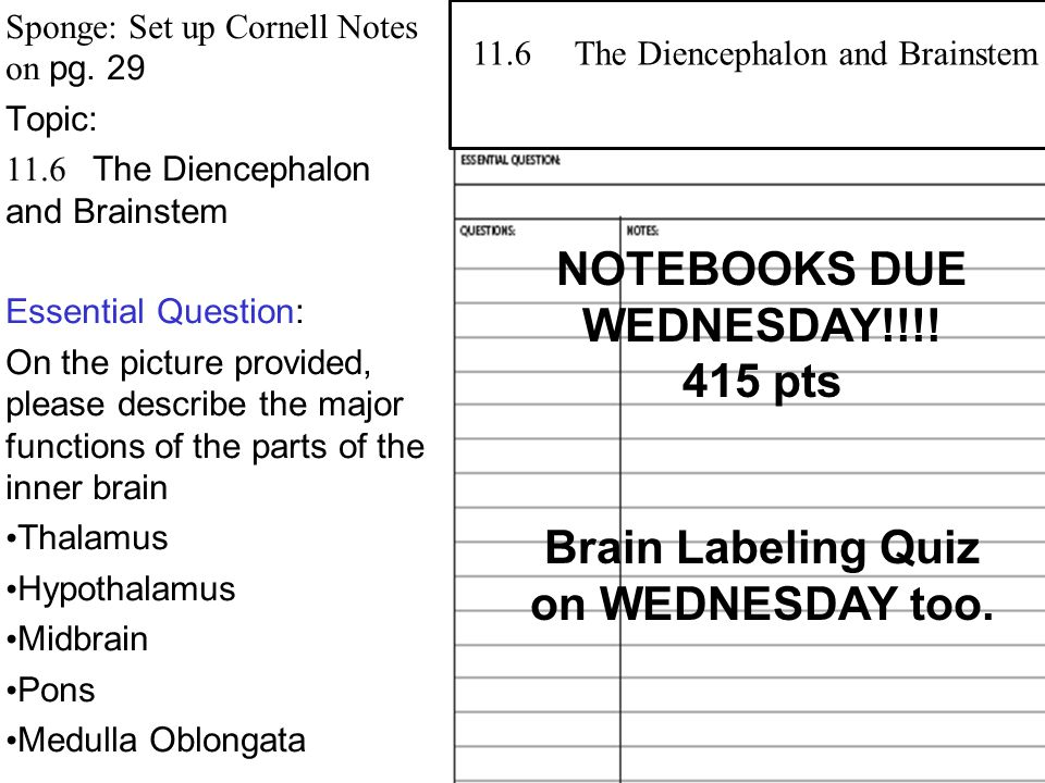 Sponge: Set up Cornell Notes on pg. 29 Topic: 11.6 The Diencephalon and Brainstem Essential Question: On the picture provided, please describe the maj