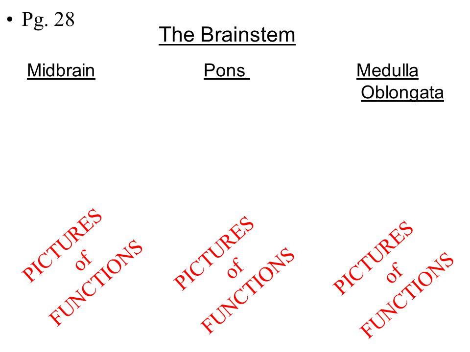 Pg. 28 The Brainstem Midbrain Pons Medulla Oblongata PICTURES of FUNCTIONS PICTURES of FUNCTIONS PICTURES of FUNCTIONS