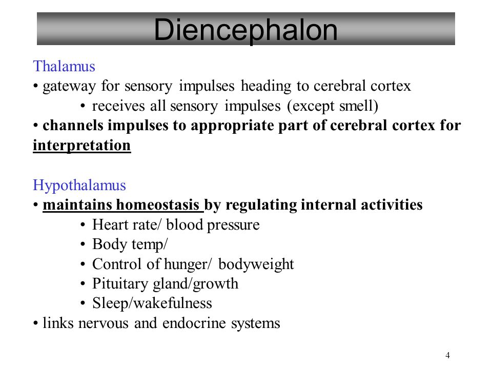 4 Diencephalon Thalamus gateway for sensory impulses heading to cerebral cortex receives all sensory impulses (except smell) channels impulses to appropriate part of cerebral cortex for interpretation Hypothalamus maintains homeostasis by regulating internal activities Heart rate/ blood pressure Body temp/ Control of hunger/ bodyweight Pituitary gland/growth Sleep/wakefulness links nervous and endocrine systems