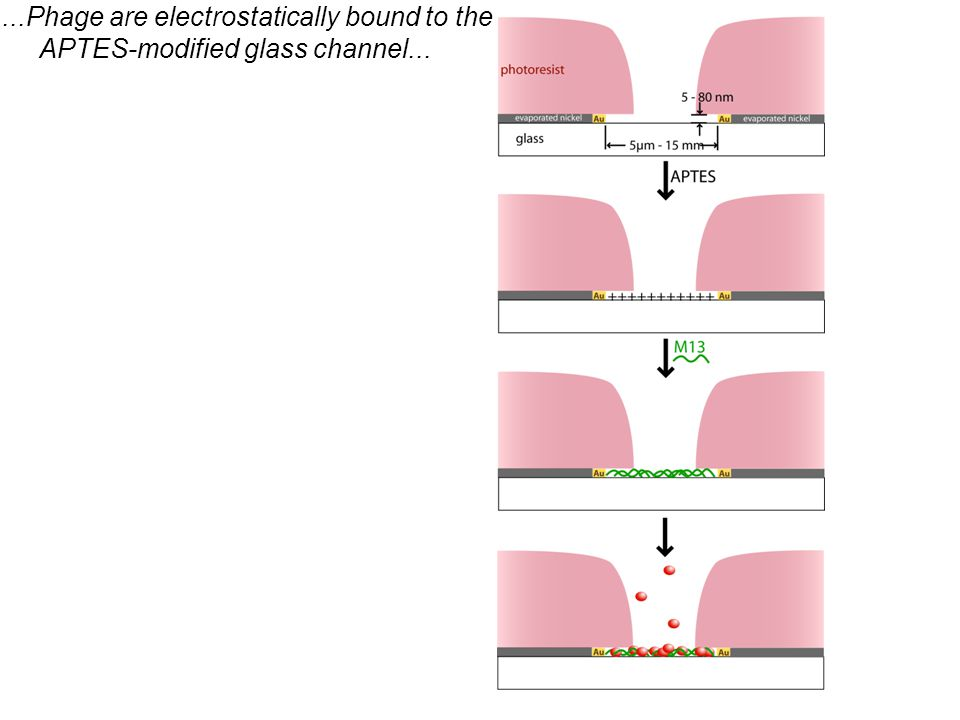 ...Phage are electrostatically bound to the APTES-modified glass channel...