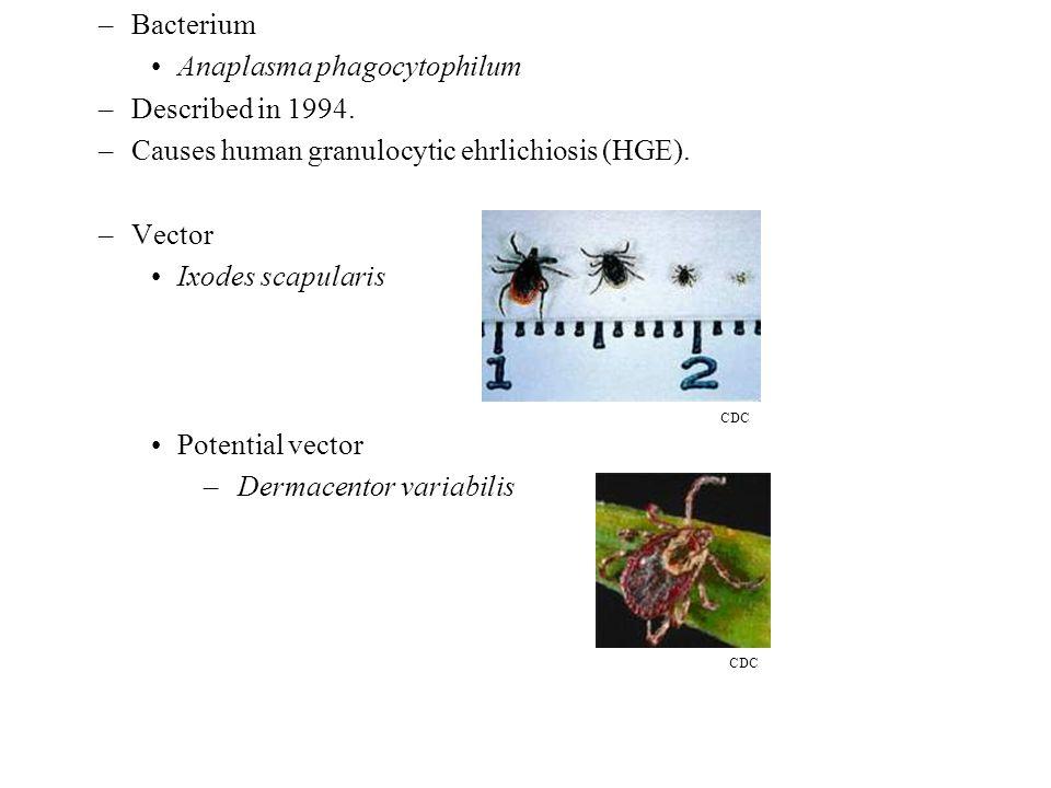 –Bacterium Anaplasma phagocytophilum –Described in 1994.