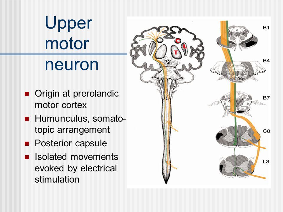 Lower motor neuron Motor unit Fasciculation Weakness & atrophy Root – plexus – nerve