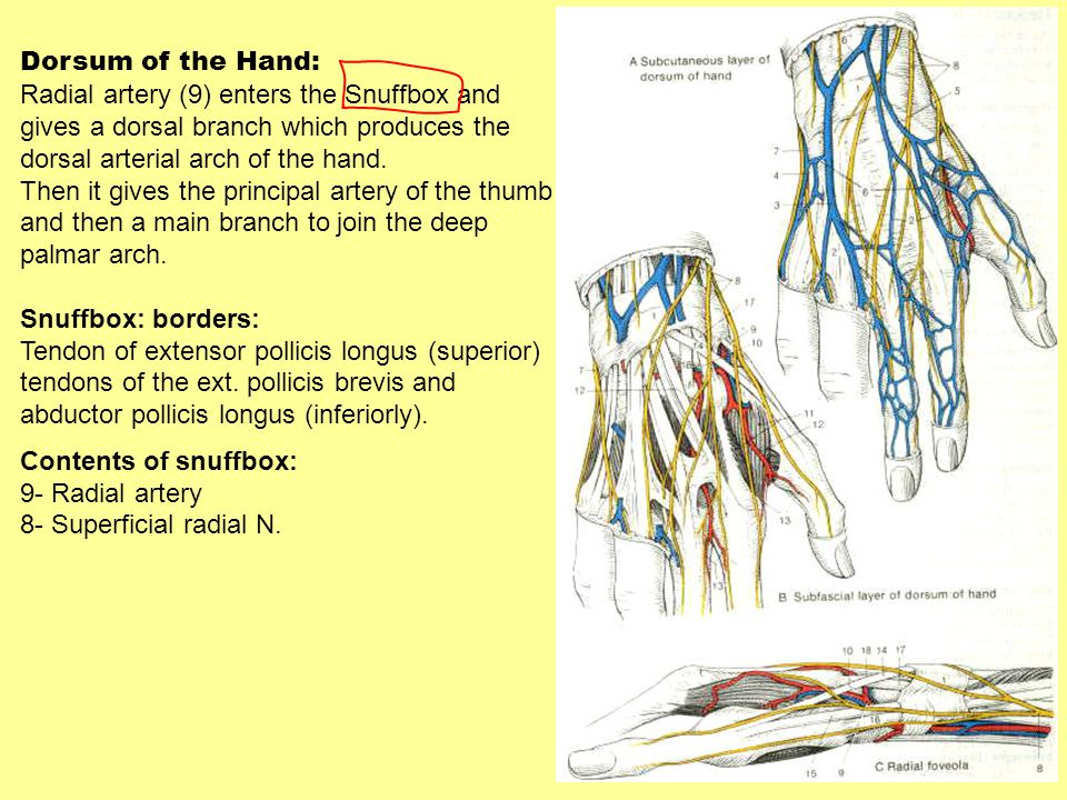 Dorsum of the Hand: Radial artery (9) enters the Snuffbox and gives a dorsal branch which produces the dorsal arterial arch of the hand. Then it gives