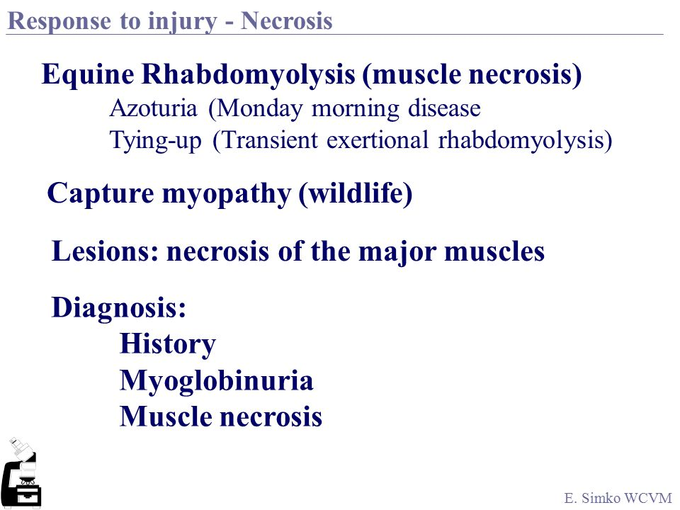 E. Simko WCVM Response to injury - Necrosis Excessive muscle activity Sudden production of heat and lactic acid & ??? Coagulation of contractile prote