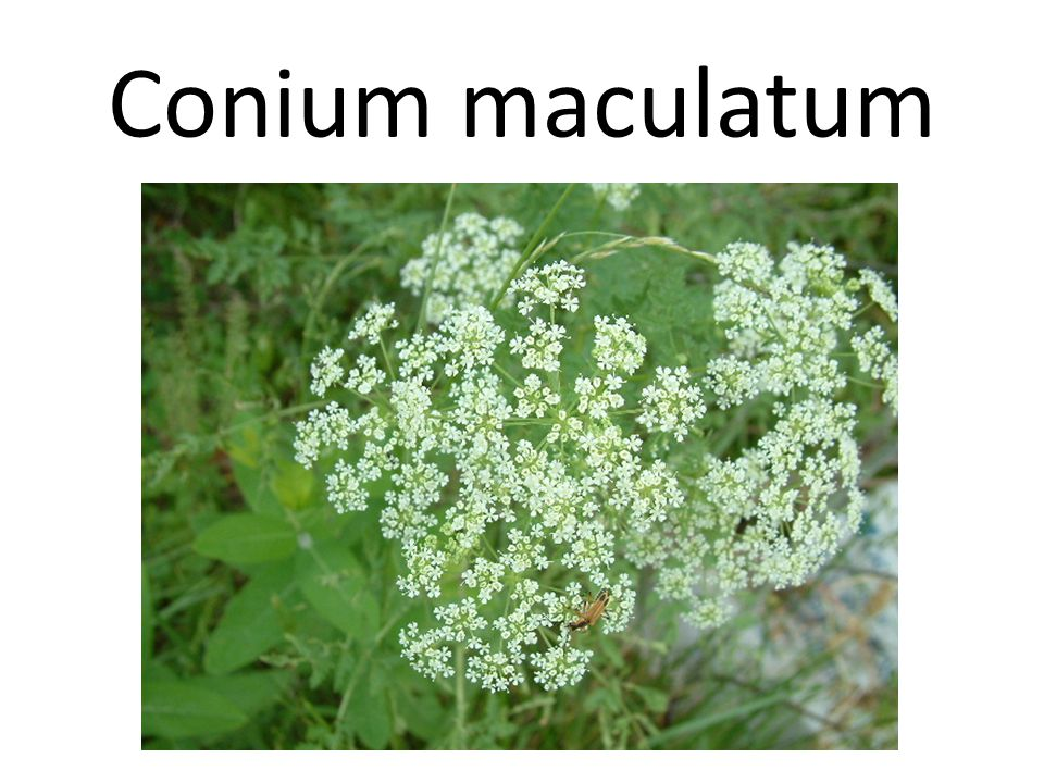 Conium maculatum Conium causes paralysis of the motor nerve filaments of the cerebrospinal system.