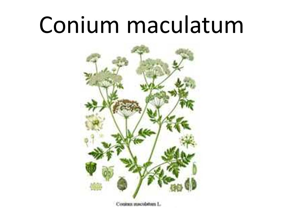 Conium maculatum The key to the weakness and paralysis in Conium maculatum is that it is very gradual.