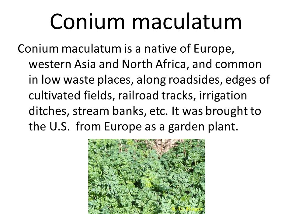 Conium maculatum Conium maculatum, known as poison hemlock, was ingested by Socrates because of his negative influence on the youth of Athens.