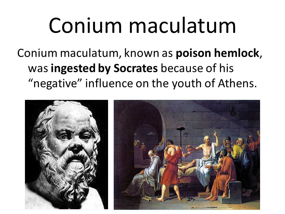 Conium maculatum We frequently use this remedy in old bachelors, in old women and in widows, who suffer from ill effects of suppressed sexual instinct and non-gratification of sexual appetite.