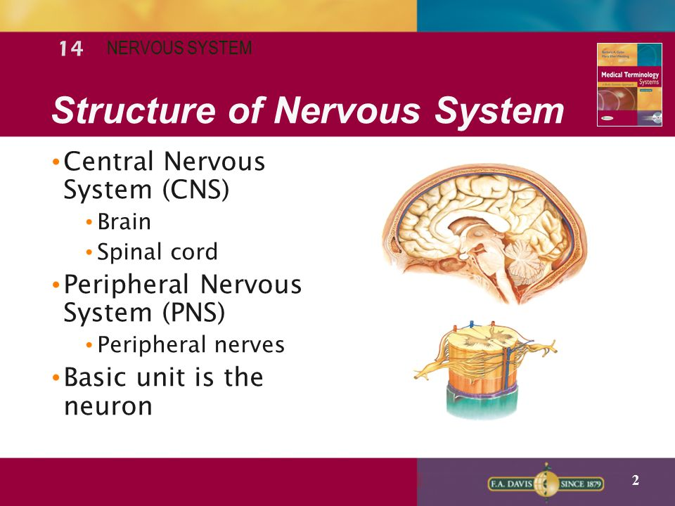 3 Function of Nervous System Central nervous (CNS) Control center of the body.