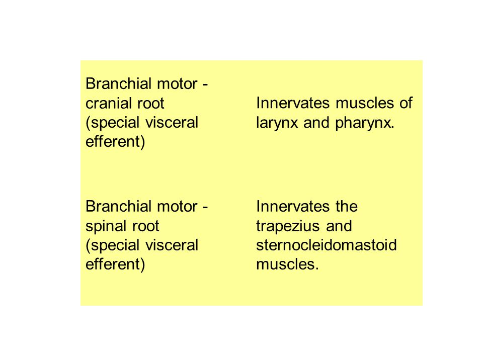 Branchial motor - cranial root (special visceral efferent) Innervates muscles of larynx and pharynx. Branchial motor - spinal root (special visceral e