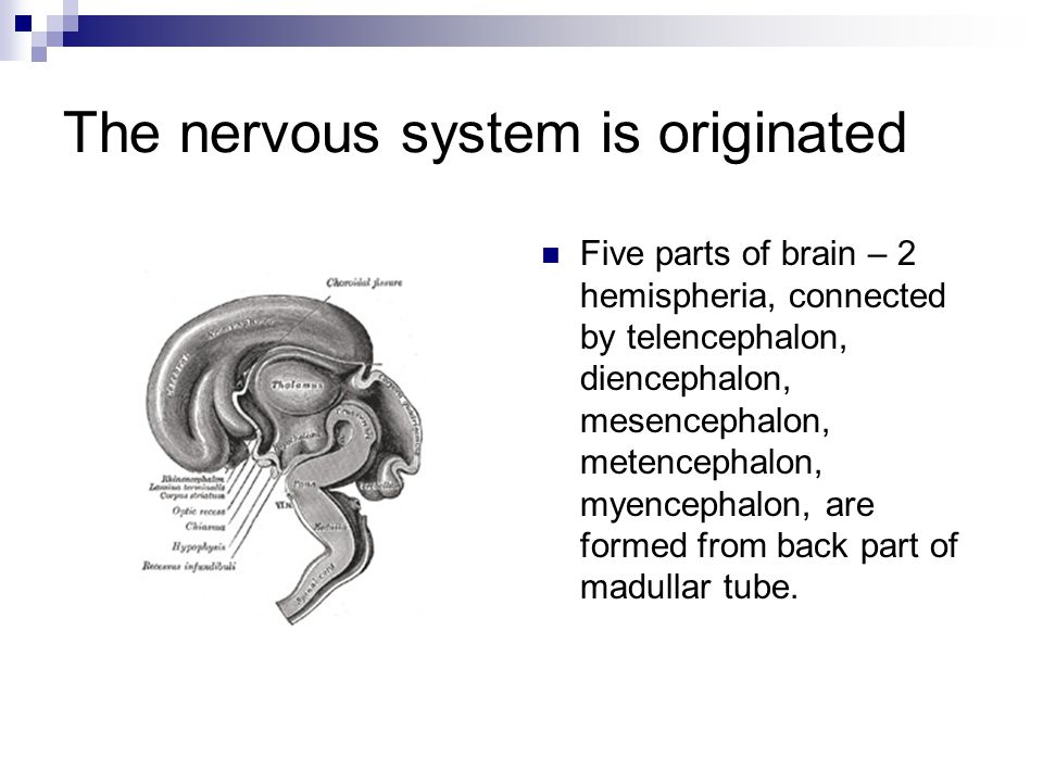 The nervous system is originated Five parts of brain – 2 hemispheria, connected by telencephalon, diencephalon, mesencephalon, metencephalon, myencephalon, are formed from back part of madullar tube.