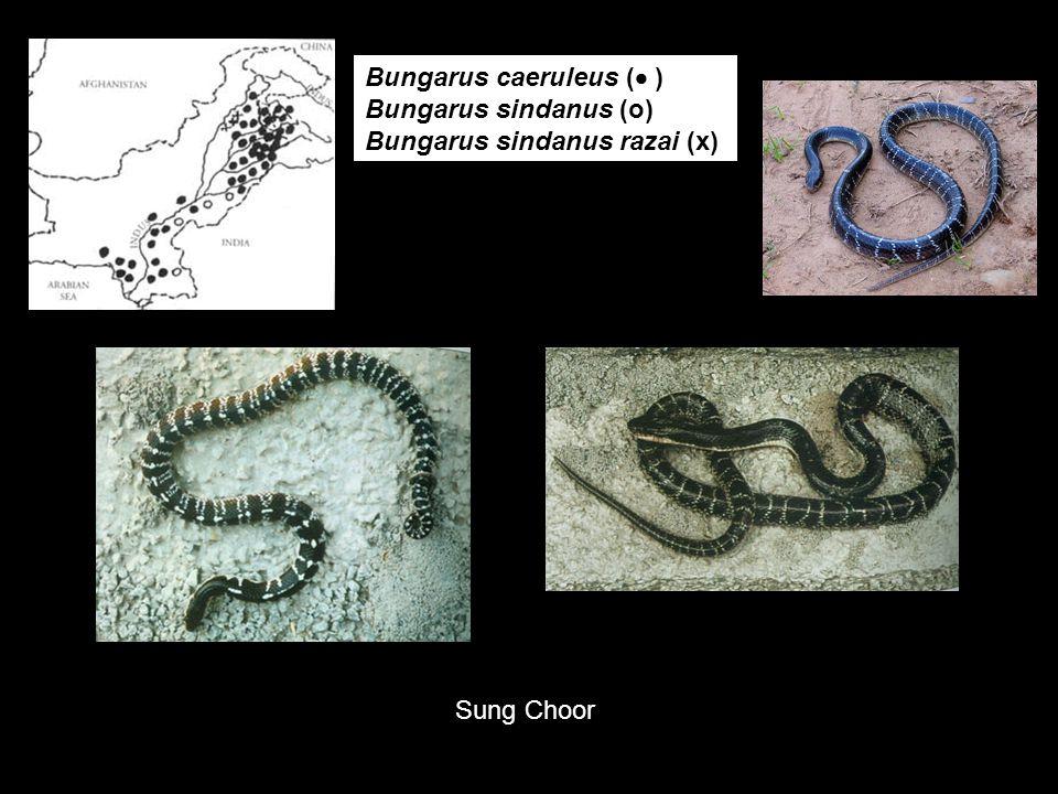 Bungarus caeruleus (  ) Bungarus sindanus (o) Bungarus sindanus razai (x) Sung Choor