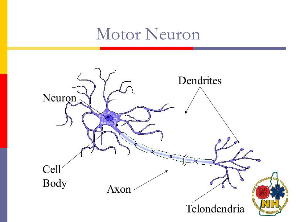 Motor Neuron Axon Dendrites Cell Body Telondendria Neuron