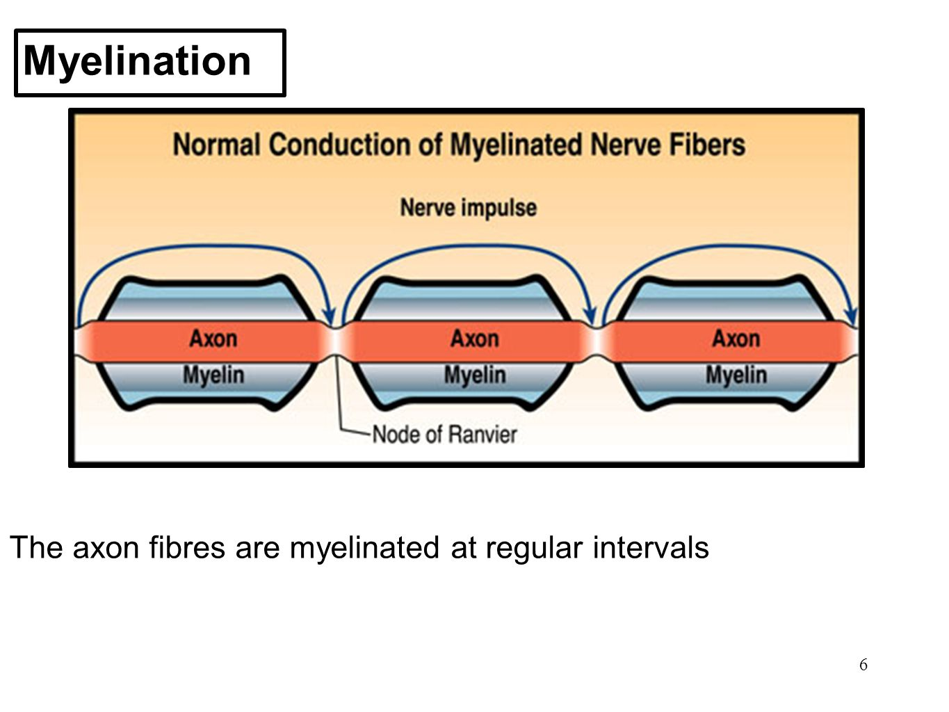 6 Myelination The axon fibres are myelinated at regular intervals