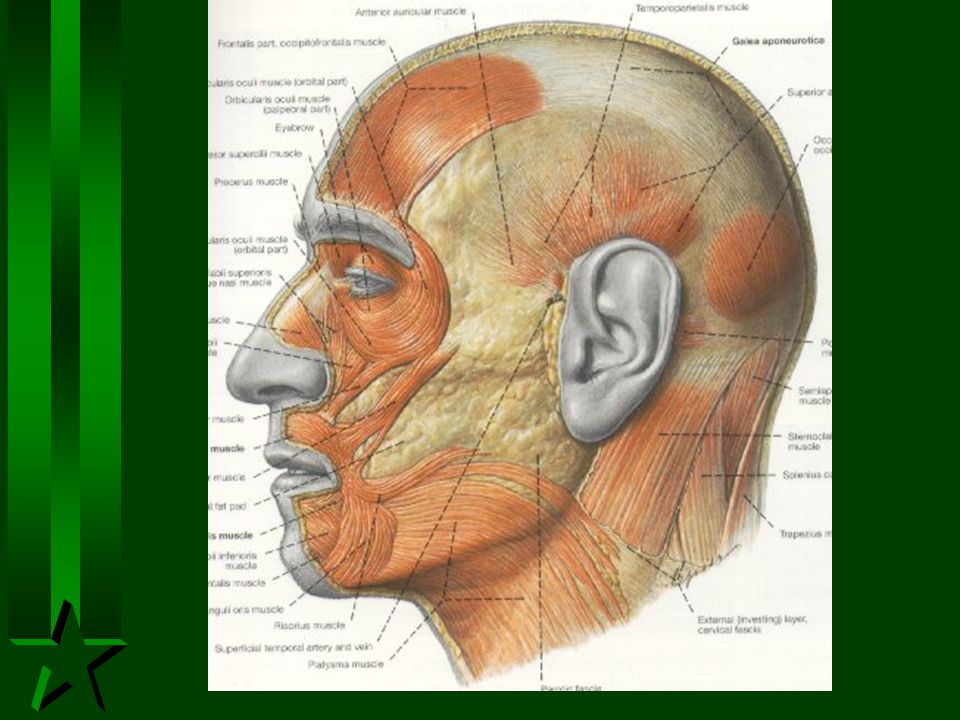 The Facial Nerve H Auditory and facial nerve enter internal auditory canal H Fibres leave for Pterygo-palatine ganglion/otic ganglion H External petrosal nerve H Chorda tympani to tongue H Through facial canal in mastoid