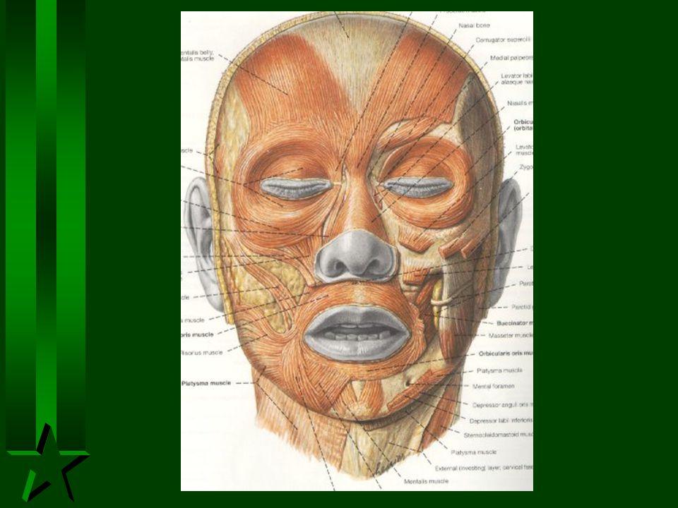 Muscles attached to the nose H Nasalis H Levator labii, superioris alaeque nasi H Levator labii superioris H Zygomaticus minor H Procerus